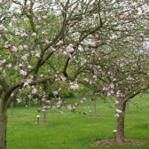 Fleurissement 2012, les arbres fruitiers du verger conservatoire