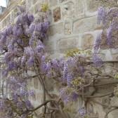 La glycine du parc du château au printemps