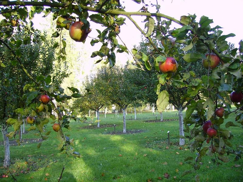 Verger conservatoire : les pommes sont mûres