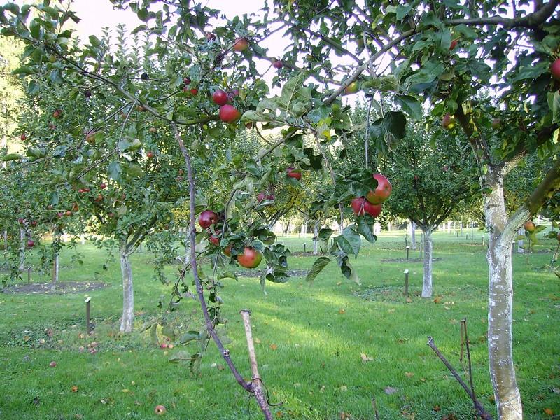 Verger conservatoire : pommes